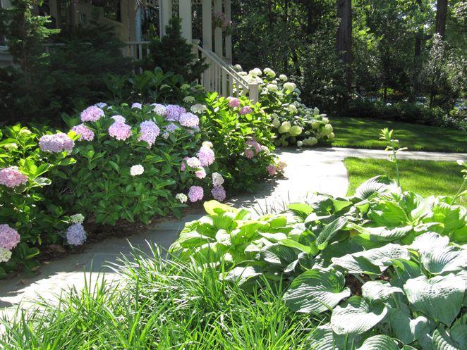 Img 9543 Medium Jpg 662 497 Hydrangea Garden Flowering Shrubs For Shade Hydrangea Landscaping