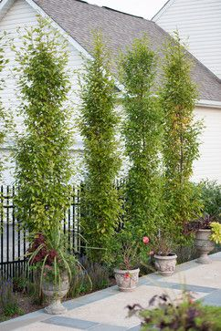 Columnar Hornbeam Tree Design Ideas Pictures Remodel And Decor Backyard Trees Backyard Pool Landscaping Outdoor Gardens Design