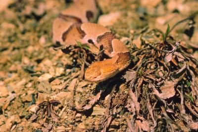 39aa70f63bd8dbc036b5ac337113af95 - How To Get Rid Of Copperhead Snakes In Your Yard