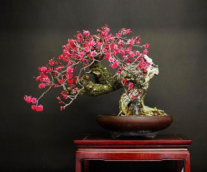 Flowering Apricot Bonsai Tree Bonsai Tree Bonsai Bonsai Art