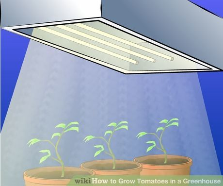 Image titled Grow Tomatoes in a Green House Step 3