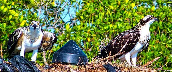 This is a pair of Osprey at their nest on the Little Manatee River in Ruskin, Florida.