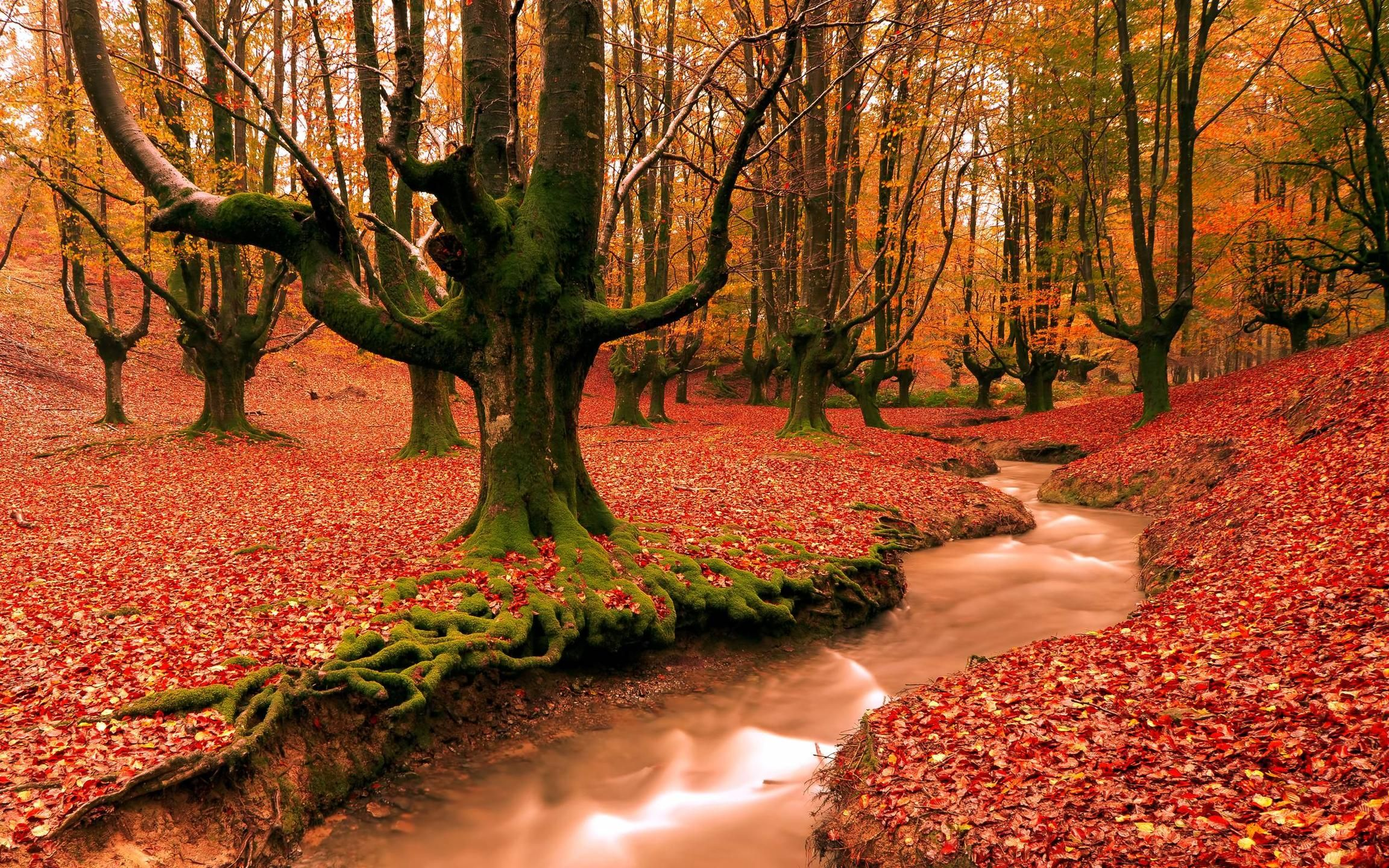 red forest fall season HD free wallpapers backgrounds