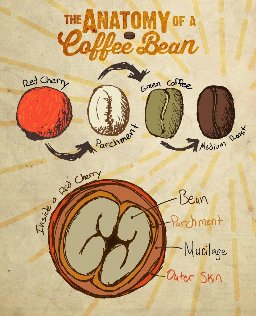 Anatomy Of A Coffee Bean Getranke Kaffee Caffee