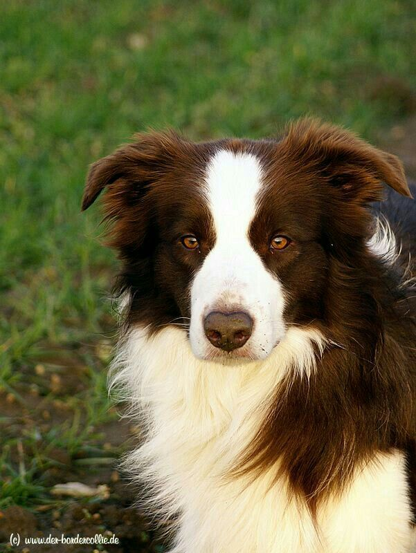 Pin By Delne Schoeman On Bc As C Gsd Gh Dogs Collie Dog Border