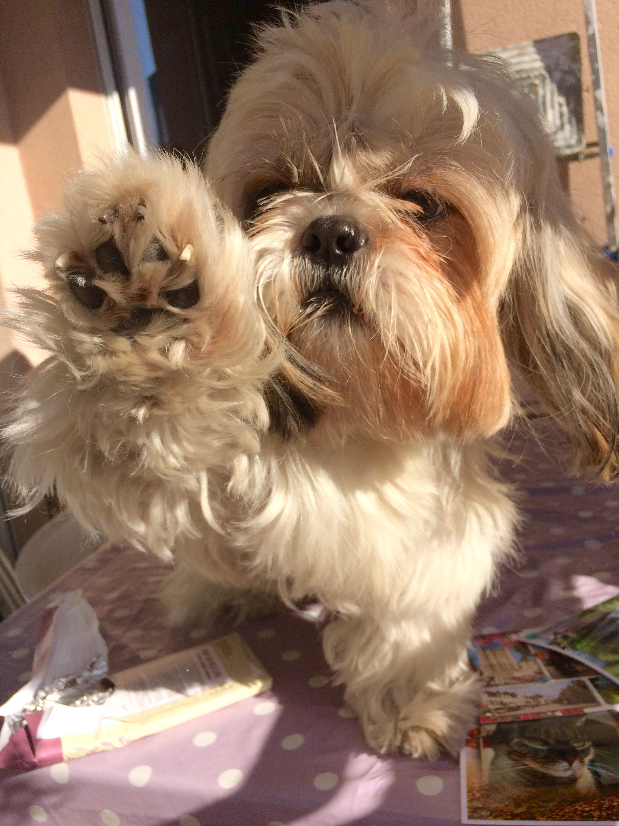 Pin By Carol Herrington On Loocky Un Shih Tzu Top Model Shih Tzu Dogs Shih Tzus