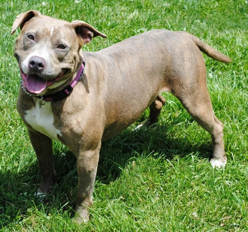 Adopt Priscilla On Petfinder Dog Adoption No Kill Animal Shelter Pitbull Terrier