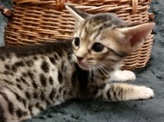 Cosmic Spots Ocicats Ocicat Kittens For Sale Year Round Breeder