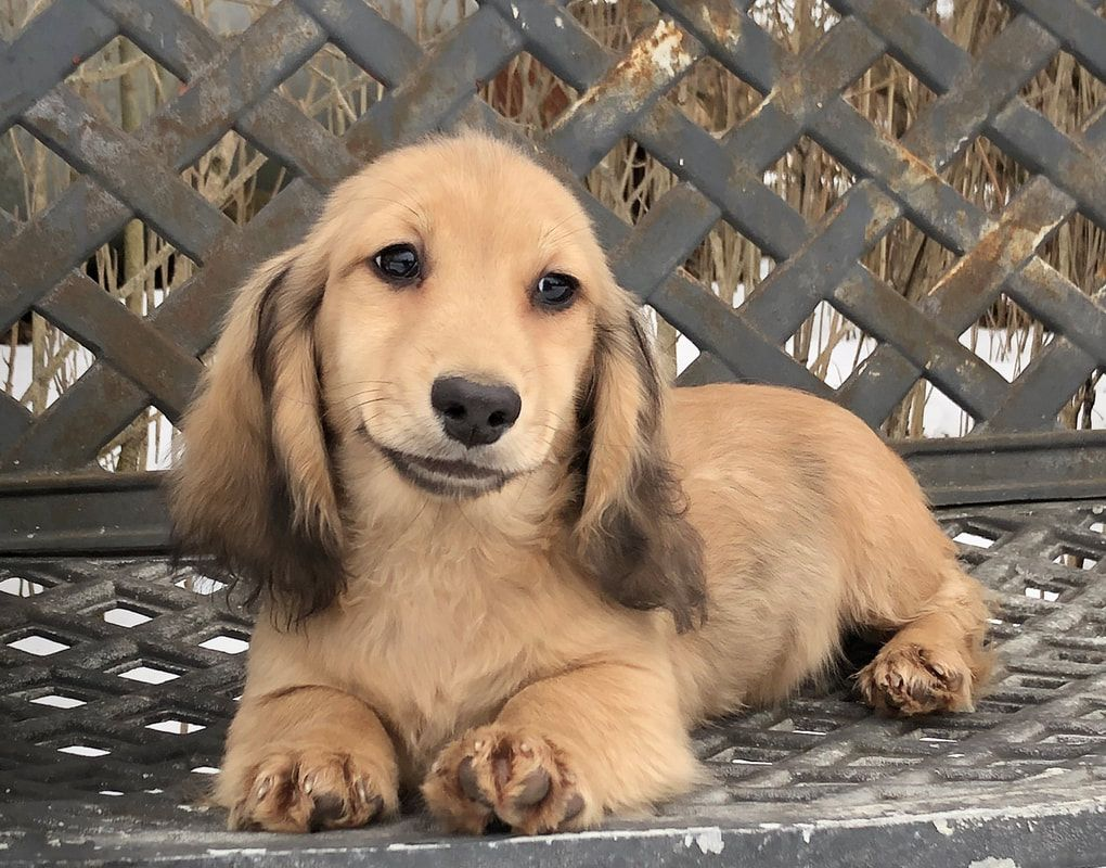 Miniature Dachshund Pups Available For Sale Mare Bella Dachshunds In 2020 Miniature Dachshund Dachshund Breeders Dachshund