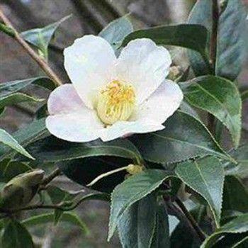 Camellia Sinensis Syn Thea Chinensis Pot De 2 Litres 20 30 Cm Tea Plant Edible Flowers Oolong Tea