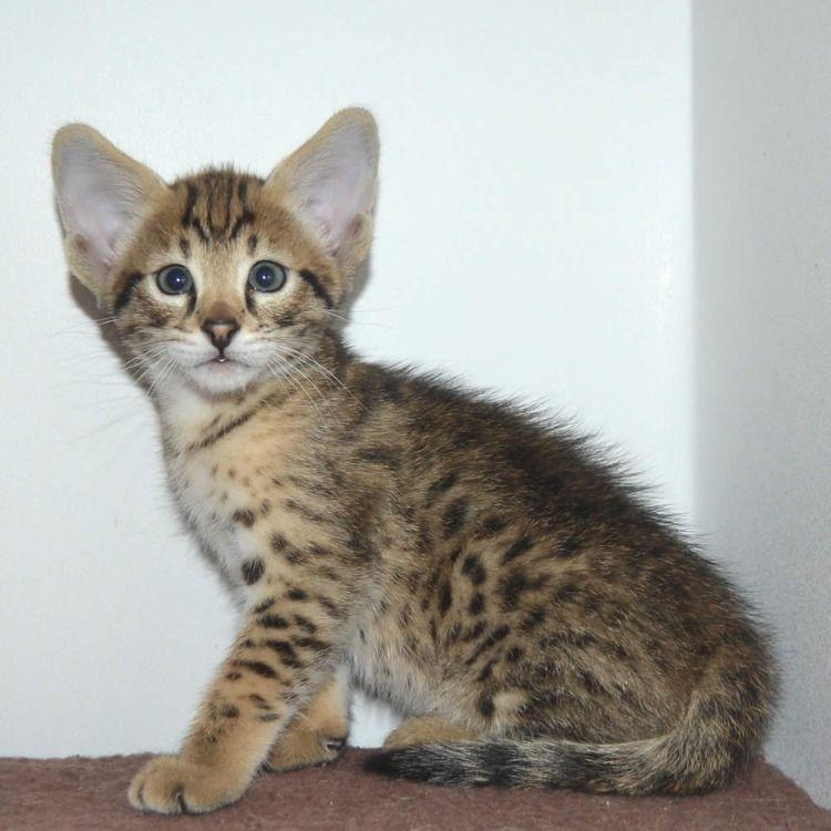 Available F2 Male Kitten With Images Savannah Kitten Savannah