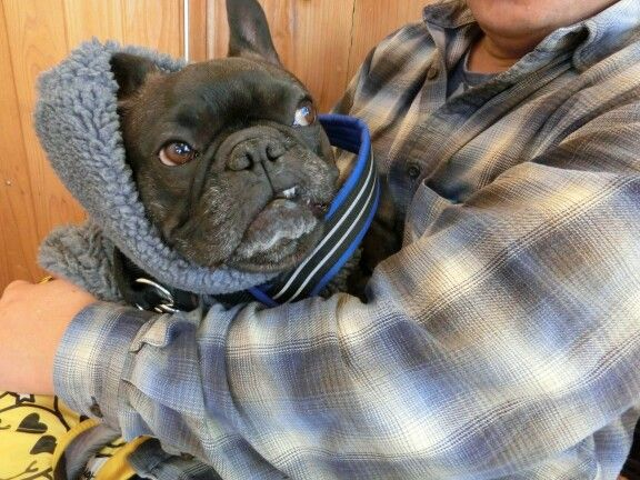 I Said Put Me Down Angry French Bulldog D With Images