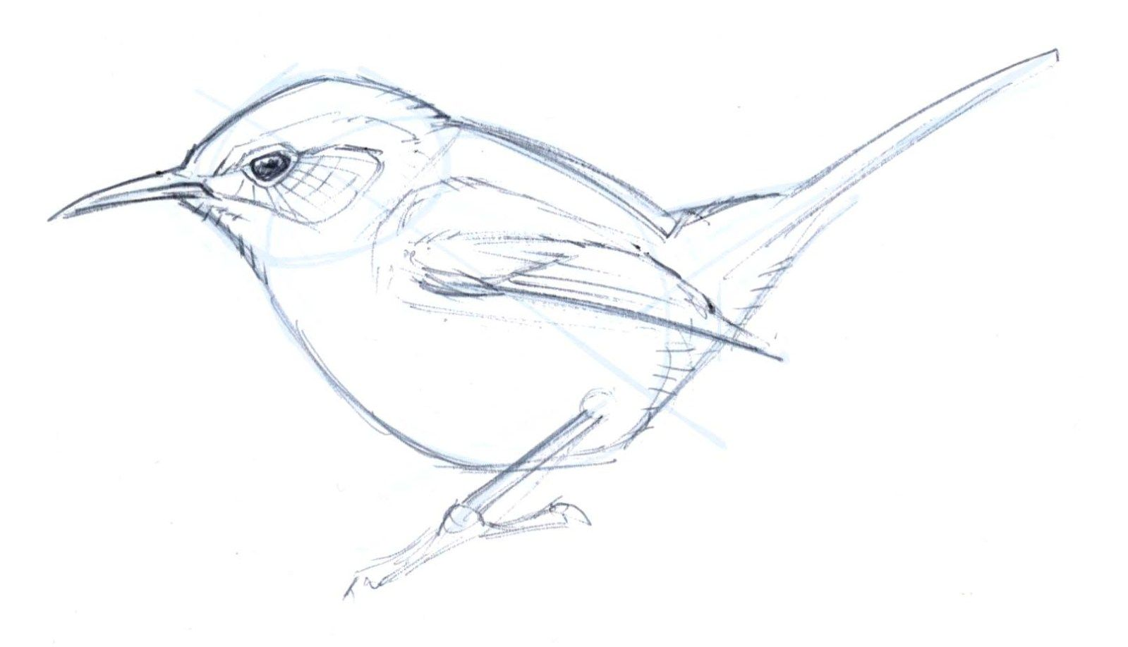 How To Draw A Bewick S Wren Step By Step Drawings Bird Sketch Bird Drawings