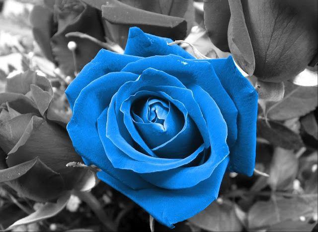 aquamarine colored rose