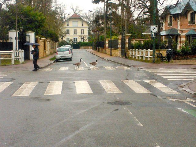 Ducks crossing the street