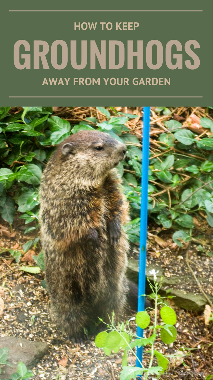 39b0b09128299af440cfd821ce20d891 - How To Get Rid Of Groundhogs In Vegetable Garden
