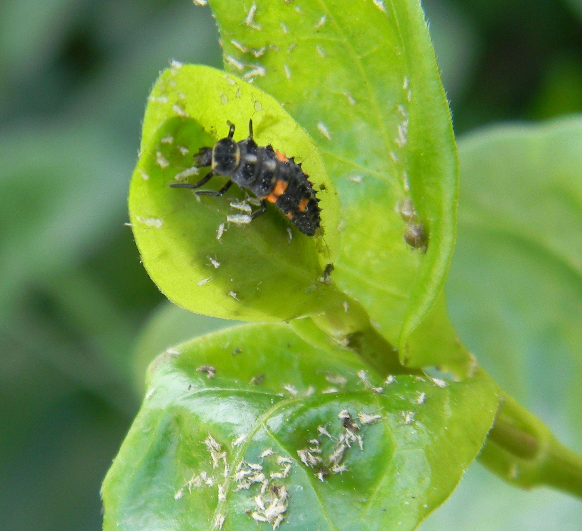 Ladybug Larvae Feeding On Apids On This Vinca Major Perrywinkle