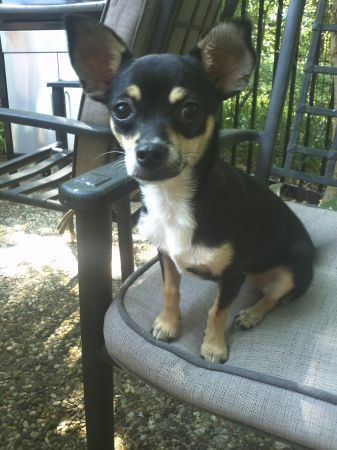 Black And Tan Chihuahua Mix Has Been Missing Since Friday August 17 Please Call 281 538 1753 Of 832 677 5174 If You Have Seen Her Reward Offered