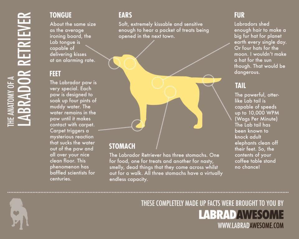Golden Retriever Dog Breed Information Labrador Retriever