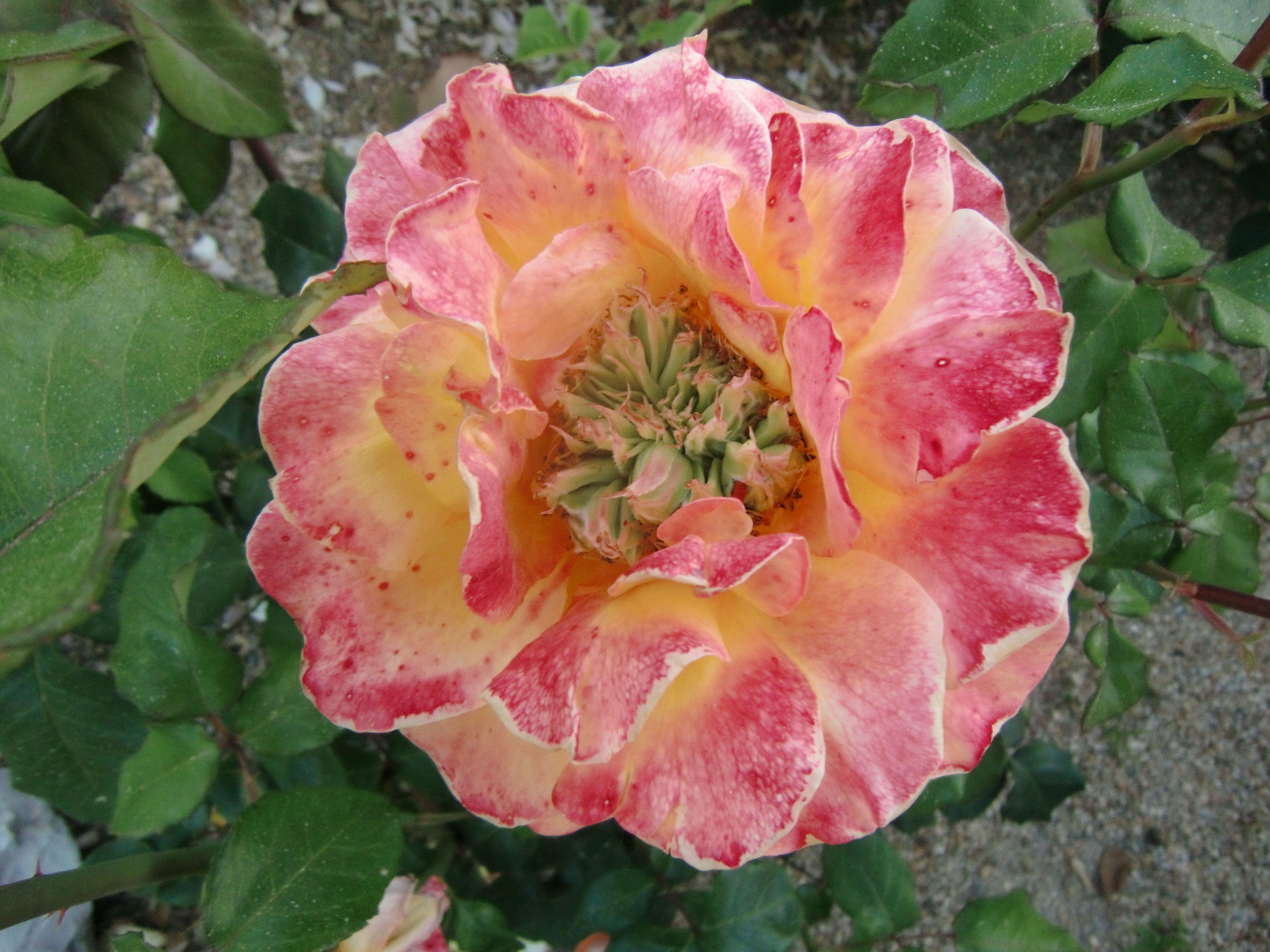 Rose from my gardem