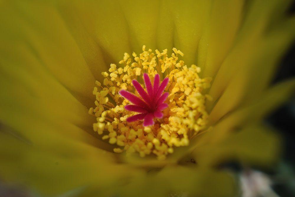 Notocactus buiningii (V. infantes)