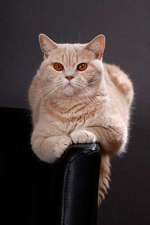 Die Britisch Kurzhaar Ist Im Vergleich Zur Europaisch Kurzhaar Starker Gebaut Britisch Kurzhaar Kurze Haare Katzenrassen