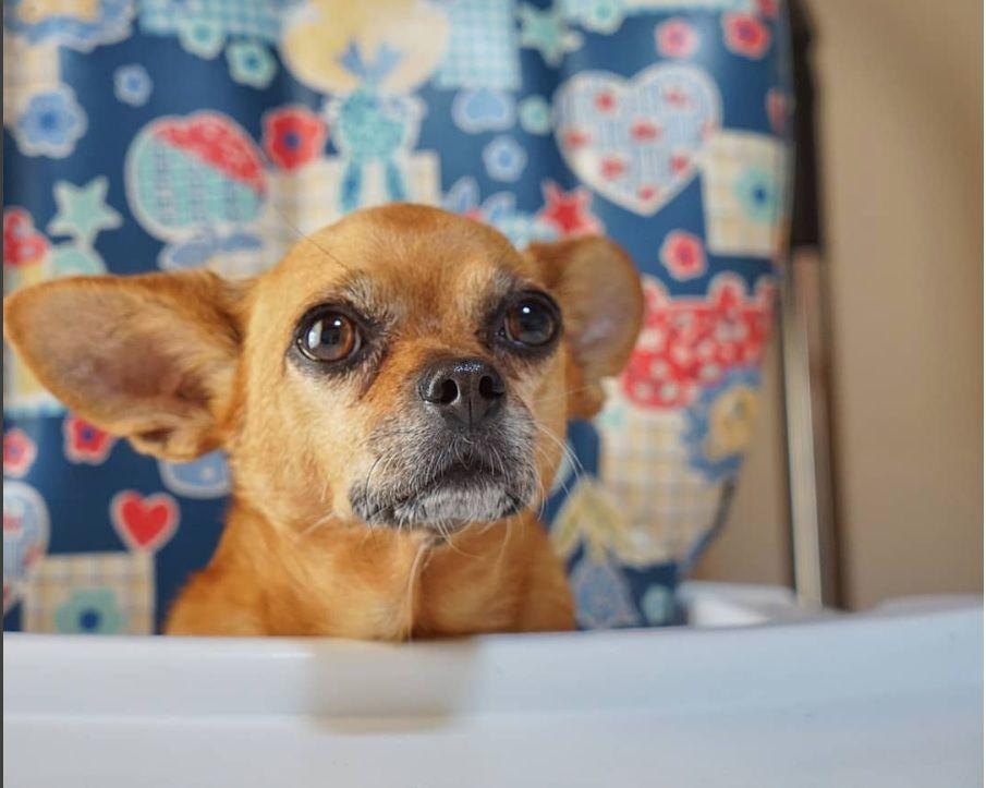 Cute Chiweenie Chug Dog Dog Mixes Chihuahua Mix