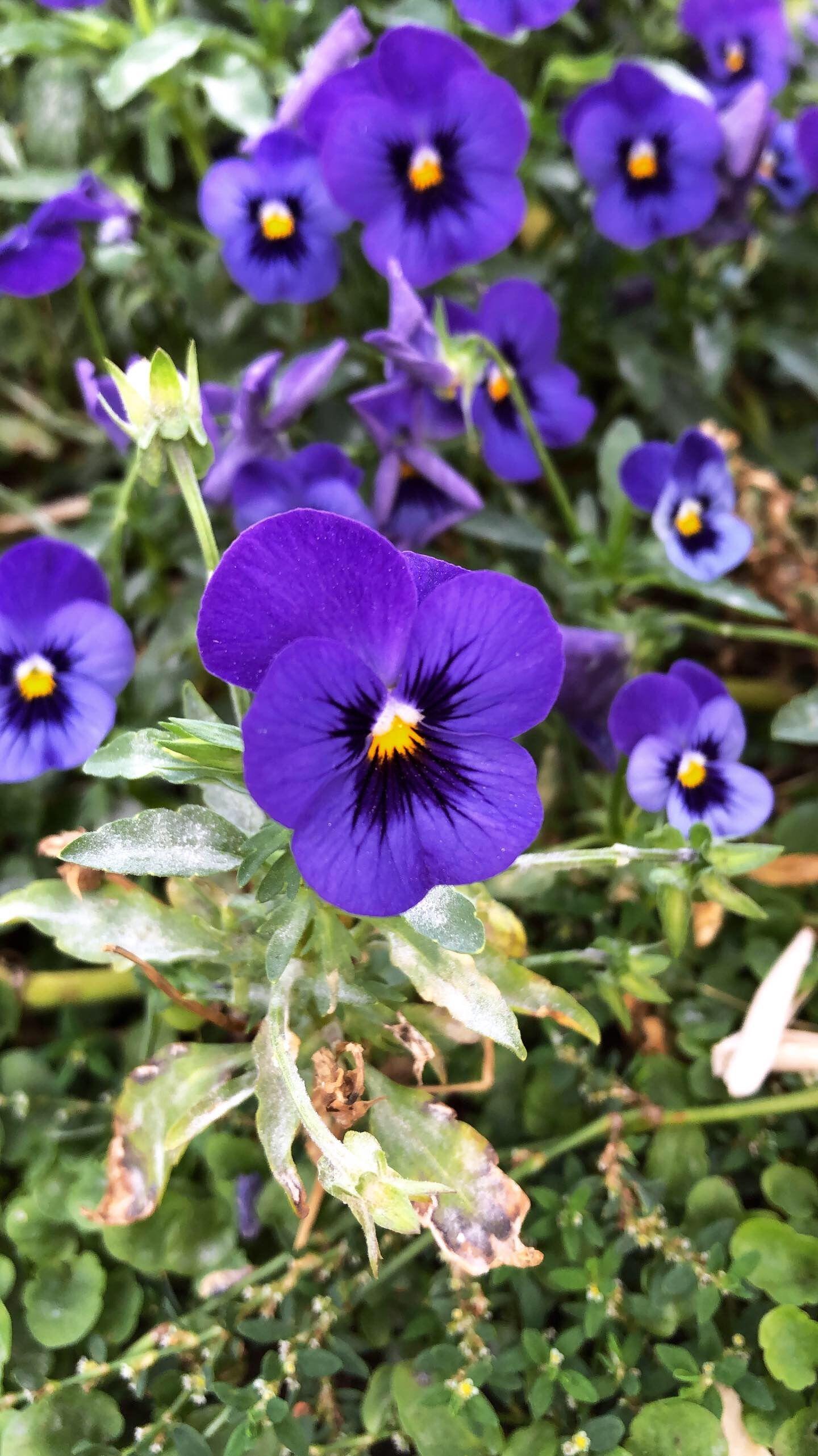 Viola Tricolor Espanol Pensamientos
