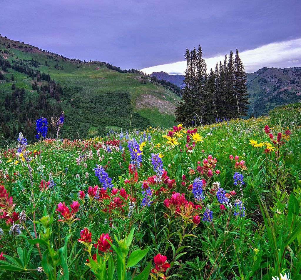 ALBION BASIN, UTAH -I could see where some of the largest yellow flowers had already withered, but there were still many other thick bunches of flowers to photograph.  _IGP0143_45-46-merge-2