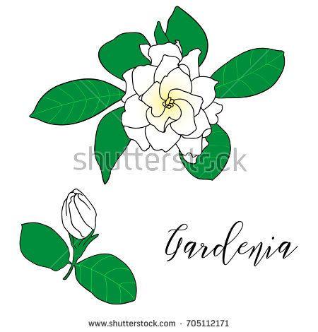 Gardenia Jasminoides Cape Jasmine Danh Danh Hand Drawn Botanical Vector Illustration Decoration For Cards Wedding Jasmine Drawing Gardenia Flower Drawing