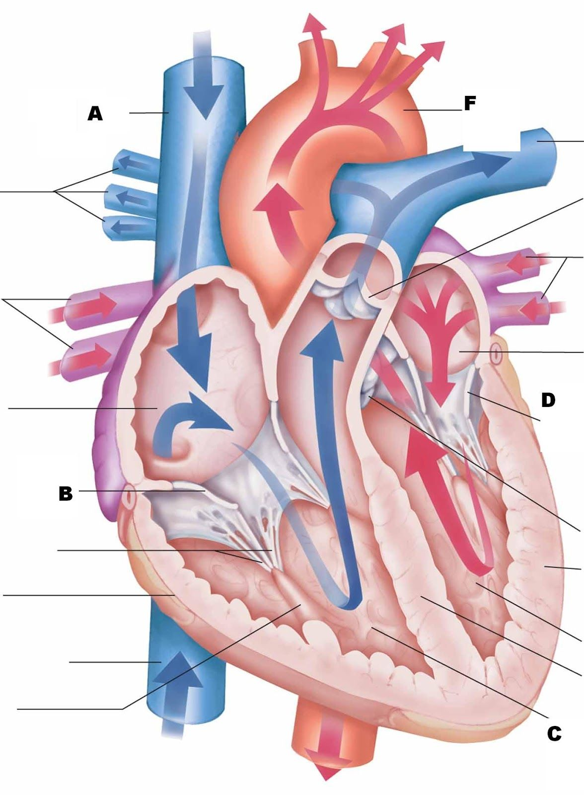Are you preparing to require an anatomy and physiology   Human ...