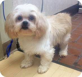 Spokane Wa Lhasa Apso Meet Piper A Dog For Adoption Http Www Adoptapet Com Pet 11373448 Spokane Washington Lhas Dog Adoption Lhasa Apso Kitten Adoption