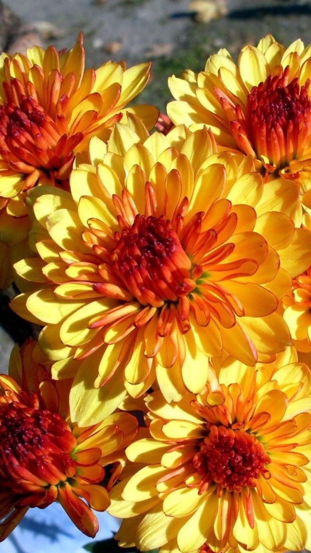 Chrysanthemum flowers bright bouquet 꽃 pinterest