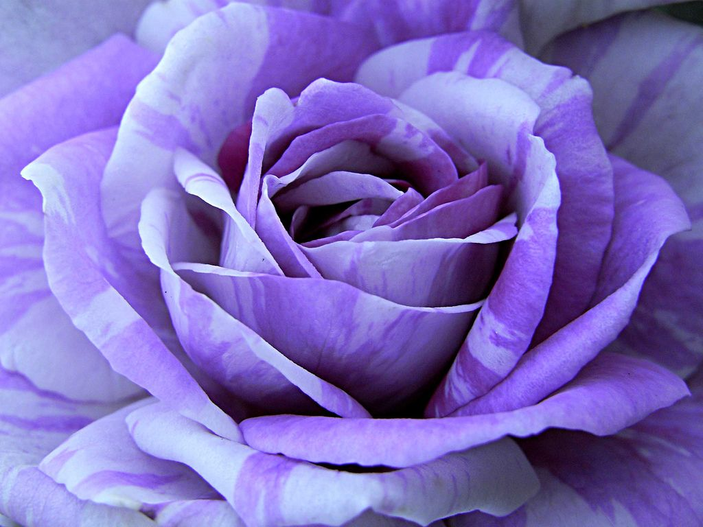 natural purple roses natural purple rose natural rose
