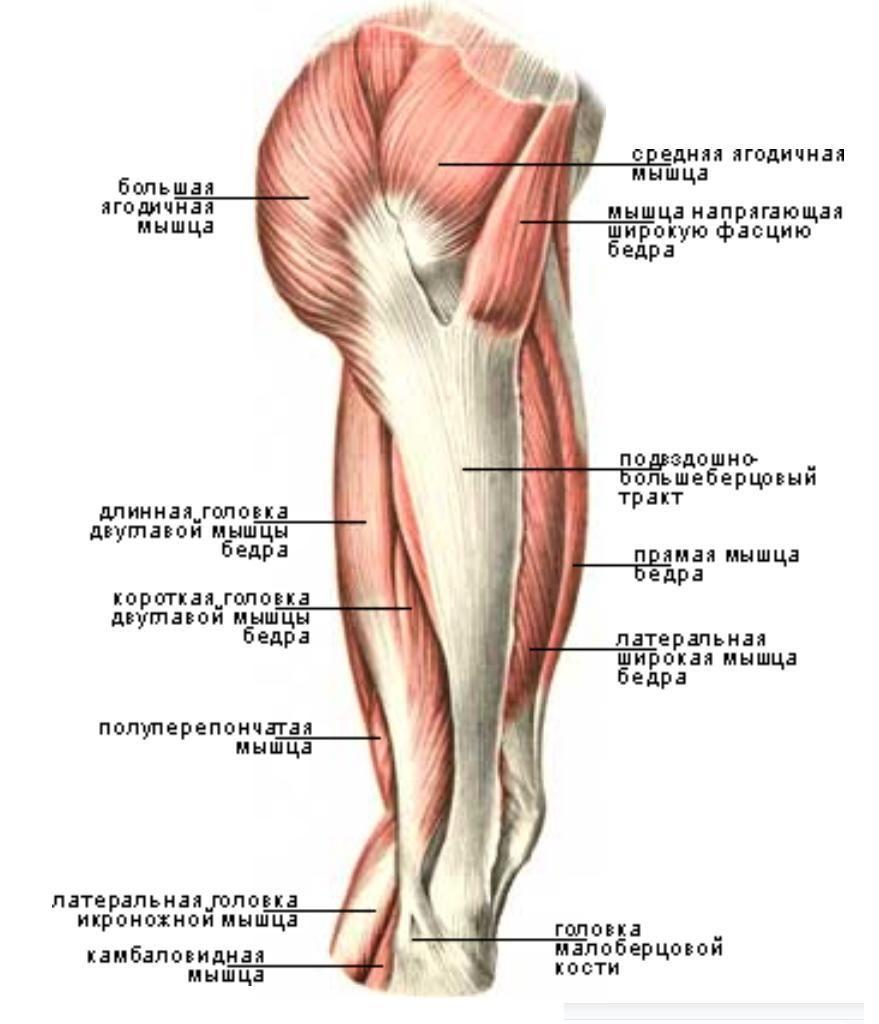 фото мышцы ягодичные строение фото произрастает