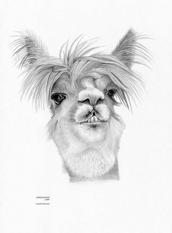 Alpaca limited edition art drawing print signed by uk artist
