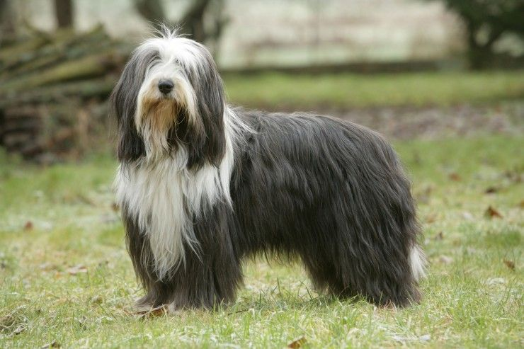 Bearded Collie Bearded Collie Dog Breeds Dog Bearding