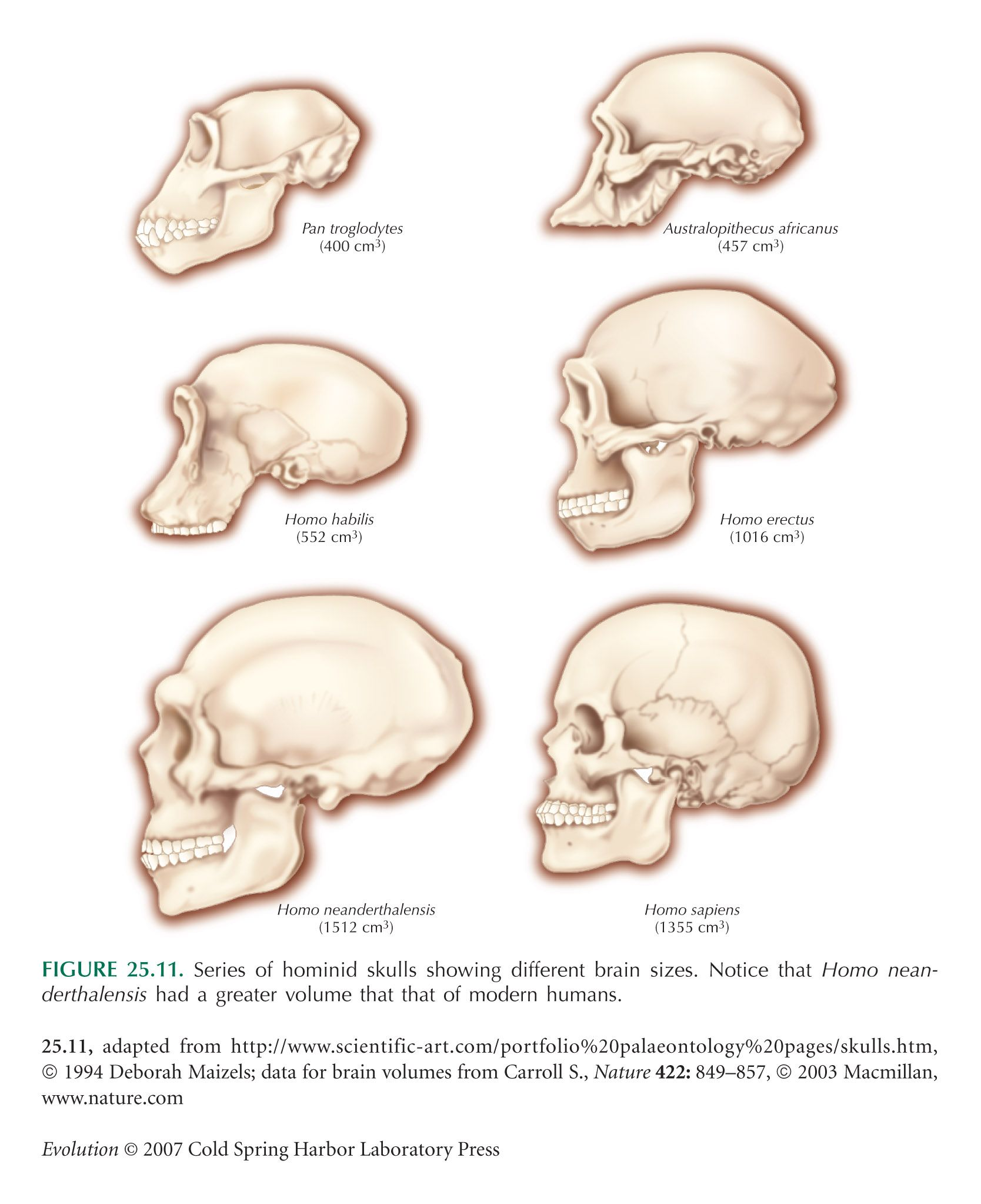 Brain Size Anthropology Early Humans Human Evolution Brain Size