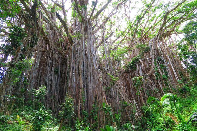 Giant Banyan Tree Tanna Island Vanuatu