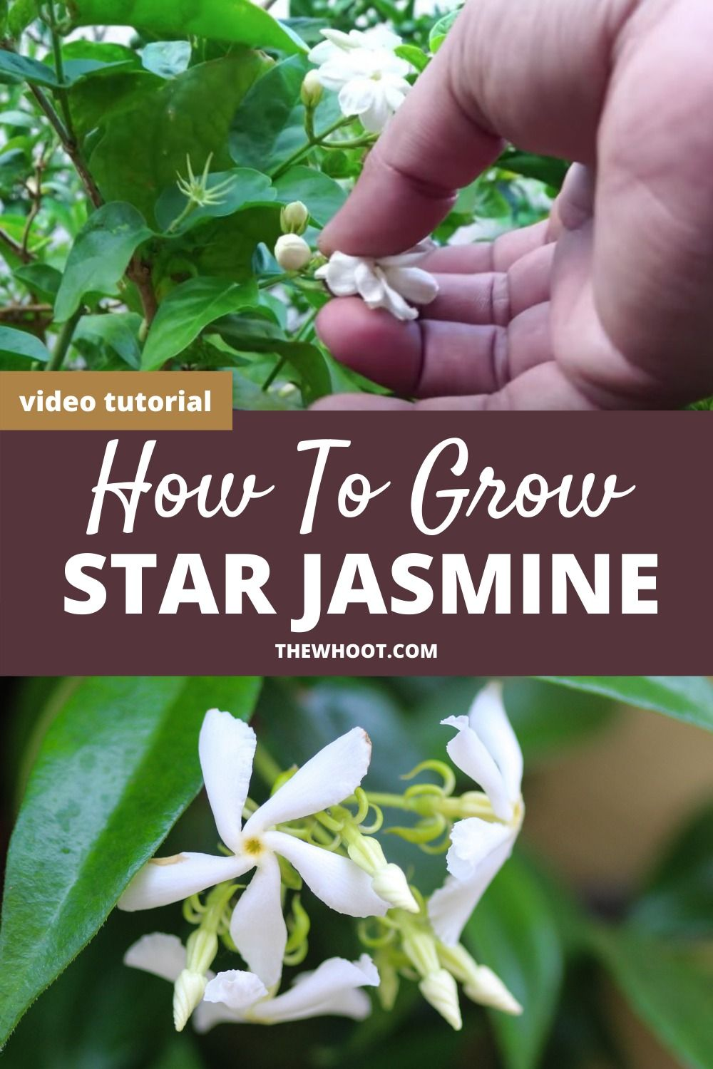 How To Grow Star Jasmine In Pots Video The Whoot Star Jasmine Jasmine Plant Jasmine Plant Indoor