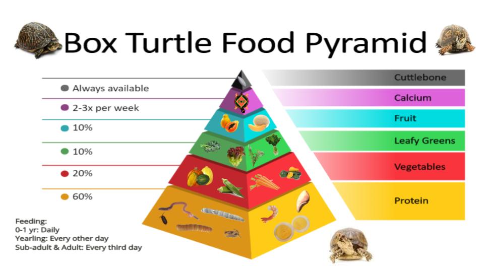 Box Turtle Food Pyramid Box Turtle Food Box Turtle Food Pyramid