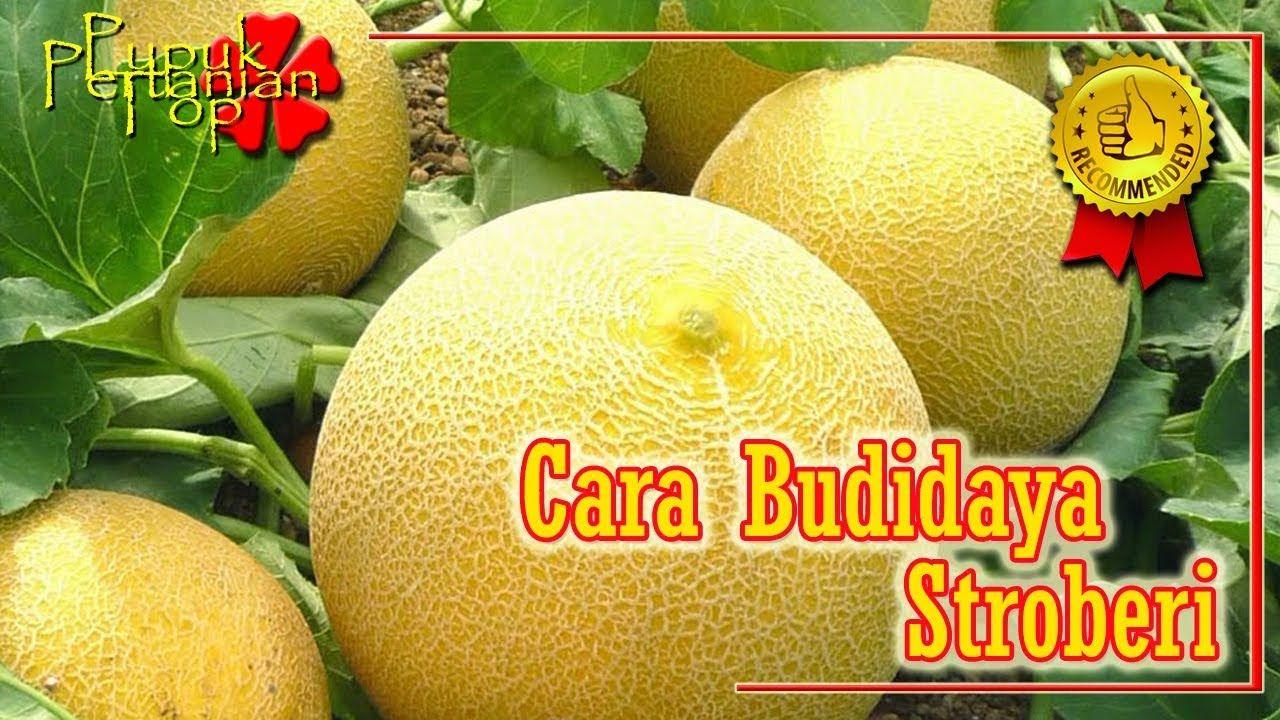 Pupuk Melon Cara Pemupukan Melon Terbaik Melon Stroberi