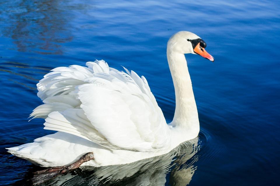 Swans 500 Ideas On Pinterest Swan Beautiful Swan Beautiful Birds
