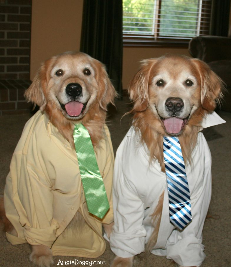 Golden Office Workers Dogs Golden Retriever Golden Retriever