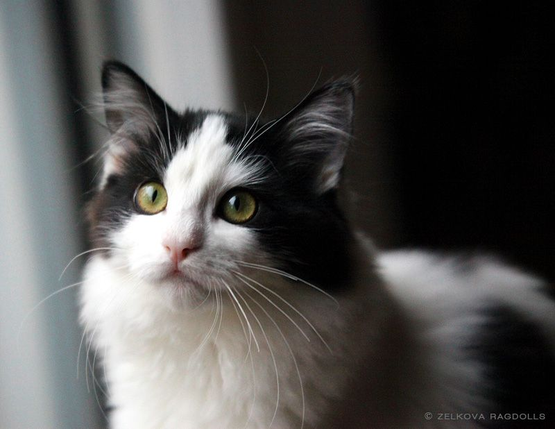 black & white ragdoll Draco! Ragdoll cat