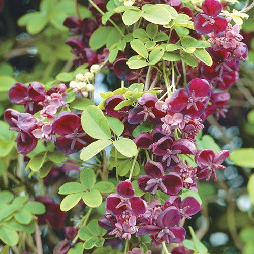 Akebia quinata - Chocolate Vine - Michigan Bulb | Flowers ...