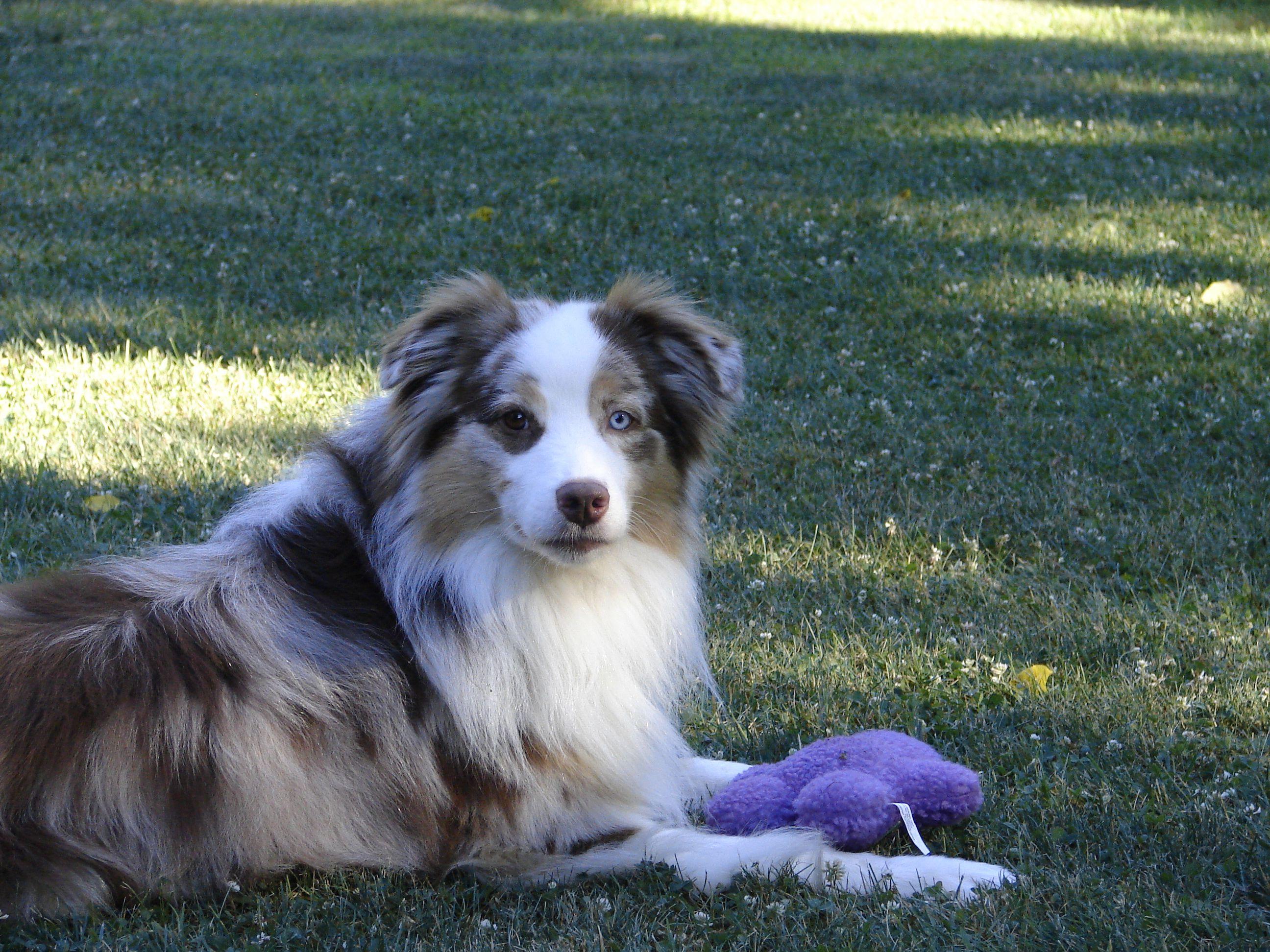 Australian Shephers Sparks Australian Shepherd Aussie Dogs