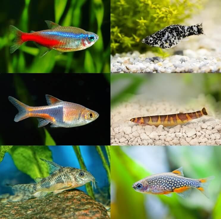 50 Betta Fish Tank Mates The Definitive Compatibility List Fishkeeping World Betta Fish Tank Mates Betta Fish Tank Betta Fish