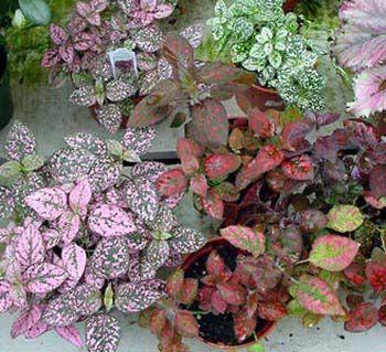 Freckle Face | Freckle face, Plants and Houseplants