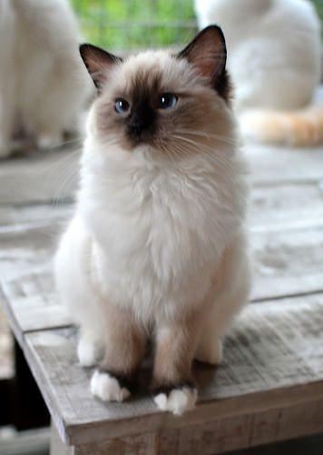 Pacificats Espresso Macchiato Cute Cats Cute Animals Cute Cats And Kittens